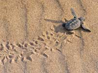 Sea turtles Mirissa Sri Lanka