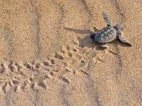 Sea turtles Mirissa Sri Lanka