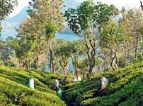 Tea picking Sri Lanka